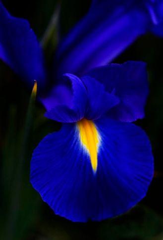 Blue Iris 3