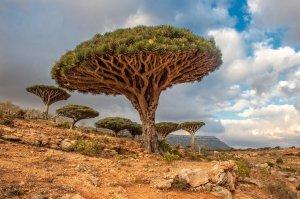 Dragon-Trees-Yemen