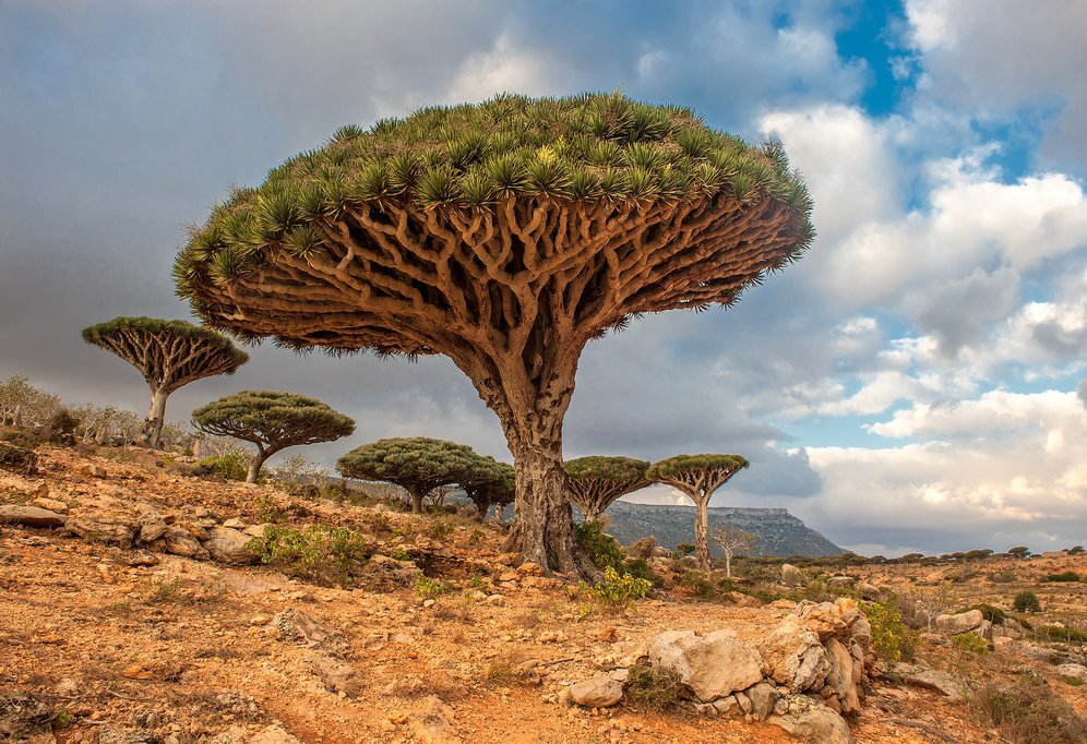 Dragon-Trees-Yemen